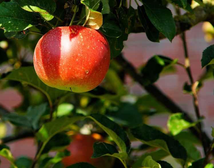 apple-tree-branch-apple-fruit-52517.jpeg